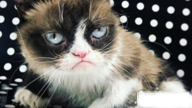 表情包不爽猫去世,因感染泌尿系统出现并发症(给主人留下巨额遗产)