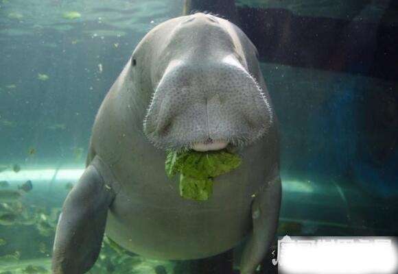 美人鱼是什么动物,一般认为儒艮或海牛是美人鱼的生物原型