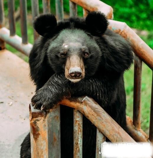 大黑熊冬眠吗,冬眠4-5个月不吃不喝(体重比之增加40公斤)