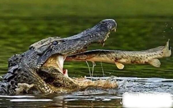 帝鳄vs恐鳄,哪个更恐怖(恐鳄杀伤力更强)