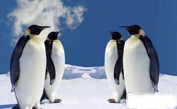 为什么北极没有企鹅,不是没有而是北极企鹅早已经灭绝了