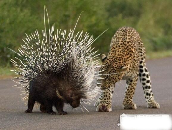 豪猪和什么动物是近亲,与老鼠是近亲(它属于啮齿目动物)