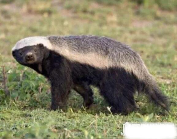 平头哥蜜獾的天敌有哪些,主要天敌是大型食肉动物(狮子、猎豹等)