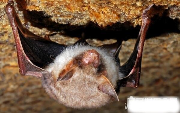老鼠变成蝙蝠过程是真的吗,蝙蝠不是老鼠变的(纯属谣言)