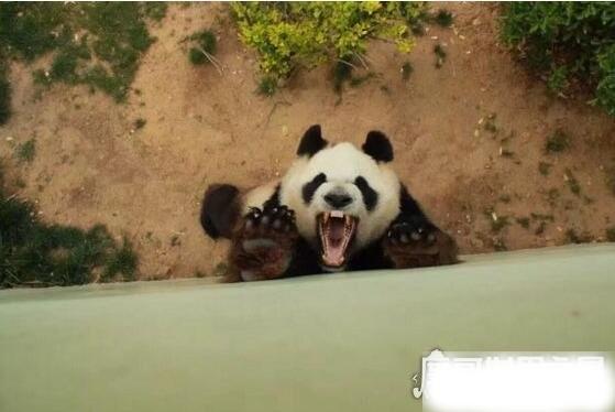 食铁兽是什么动物,大熊猫为什么被叫做食铁兽(并不吃铁)