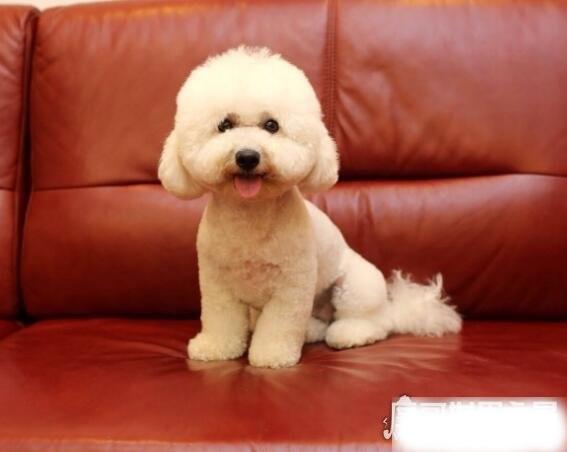 贵宾犬和泰迪的区别,泰迪是贵宾犬修剪毛发之后的一种叫法