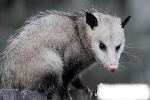 世界上最大的老鼠,负鼠体长可达1.1米(猫见了也害怕)