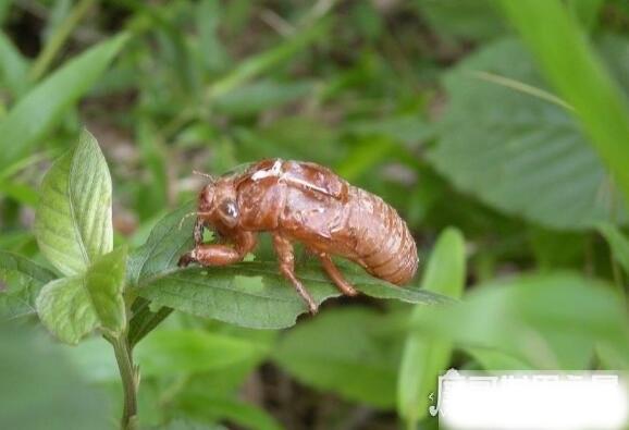 知了图片大全,这种看起来丑陋恐怖的昆虫是许多人追捧的美食