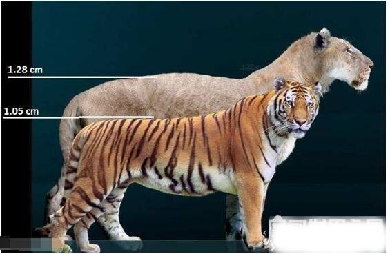 残暴狮vs剑齿虎谁更大,残暴狮(它们是历史上最大的猫科动物)