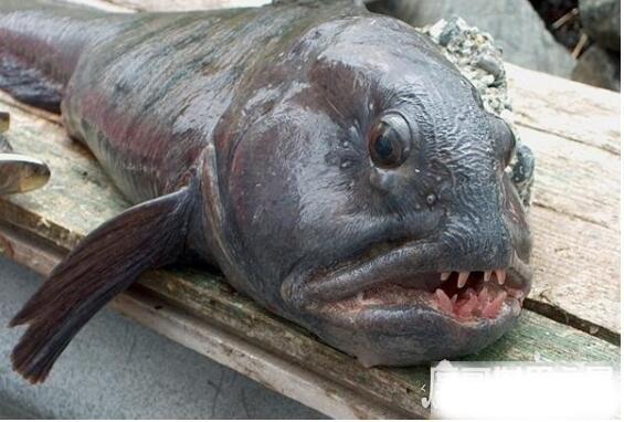 狼鳗鱼为什么不能捉,它们属于肉食性鱼类(拥有很强的攻击性)
