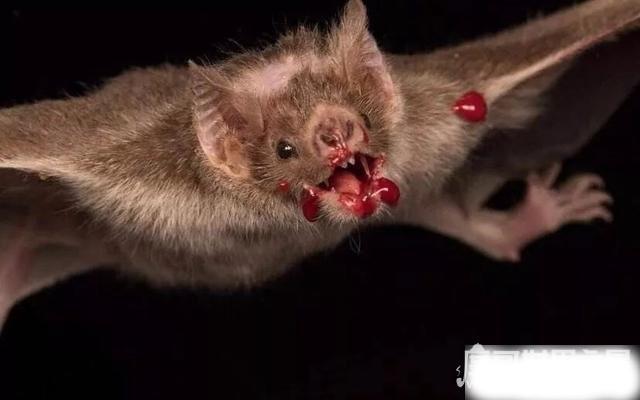 十大最恐怖蝙蝠图片,吸血蝙蝠真的存在(一生吸血100升)