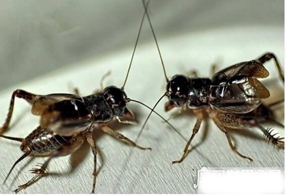蟋蟀吃什么,野生蟋蟀喜欢指农作物的嫩茎和种子(是农业害虫)