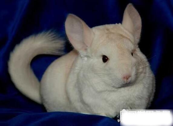 龙猫是什么动物,它是原产于美洲的毛丝鼠(皮毛十分漂亮柔软)