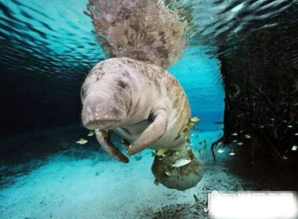特斯拉海牛灭绝了吗,从发现到灭绝仅27年(原因是太好吃)