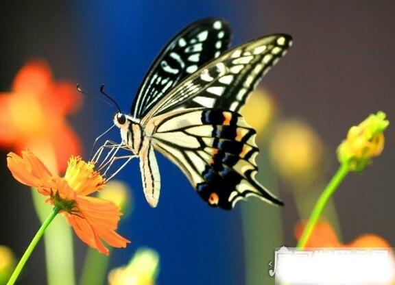 蝴蝶的家在哪里,它们常常缀叶为巢(下雨时会都在花间或树叶下)