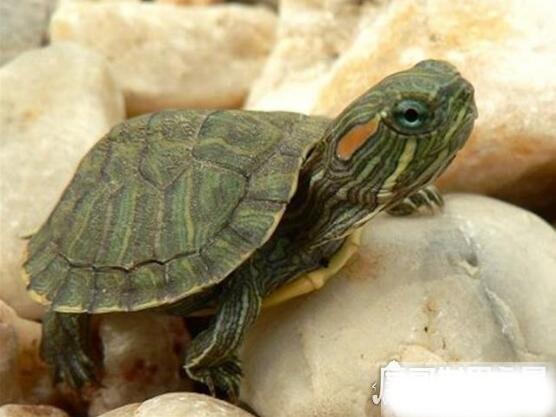 巴西龟怎么分公母,几个小细节教你轻松分辨(母龟比公龟体型大)