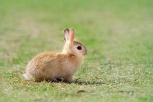 世界十大最受欢迎的兔子品种 荷兰侏儒兔世界最小害怕生人