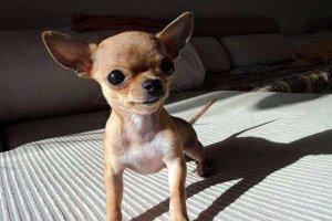 世界十大最小的狗 最小吉娃娃体重仅有1公斤左右