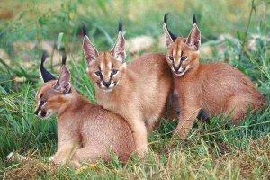 世界十大知名野猫 荒漠猫是中国的特产猫