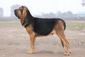 世界十大嗅觉能力出众的狗 寻血猎犬嗅觉灵敏常作为警犬