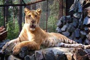 世界十大大型猫科动物 狮子仅第二第一是老虎狮子结合体