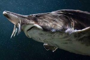 世界十大最大淡水鱼 欧洲鳇体重可达到1吨相当巨大