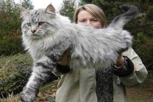 世界十大体格最大的猫 缅因猫体型健壮毛发旺盛