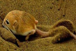 世界上十大最小的哺乳动物 山脉侏儒负鼠可以拿在手上把玩