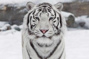 全球最美动物排行榜 白虎黑豹上榜,红狐狸又魅又美