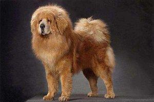 世界十大最贵的狗 藏獒的价格可以抵得上北京二环的房价了