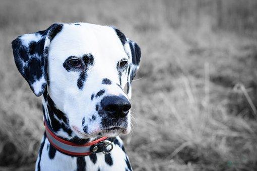 40天左右的阿拉斯加狗有多大?